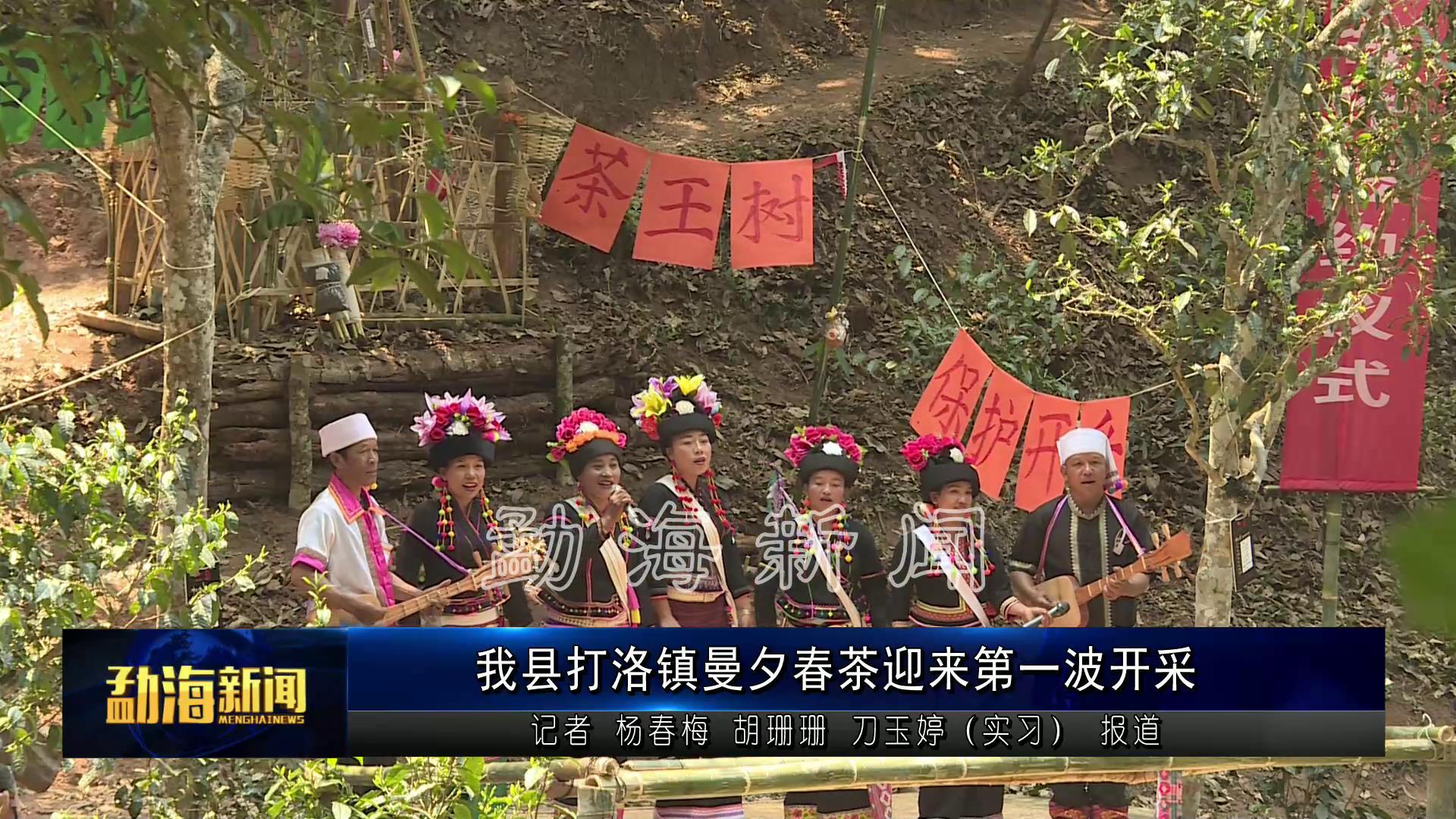 勐海县打洛镇曼夕春茶迎来第一波开采[00-00-16][20210406-093414728].jpg